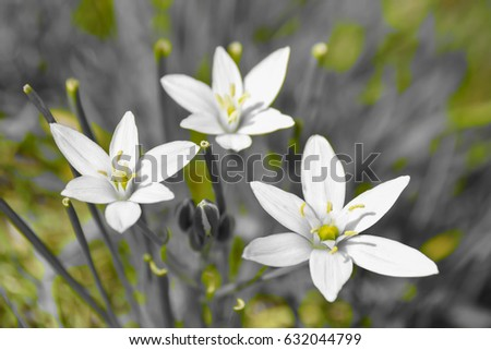 Small white flower called crow onion stock photo edit now a small white flower called crow onion ion a black and white background mightylinksfo