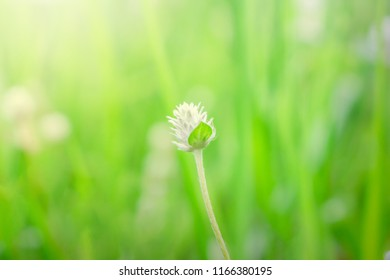 Small white flower of grass on blur green background and light of sun