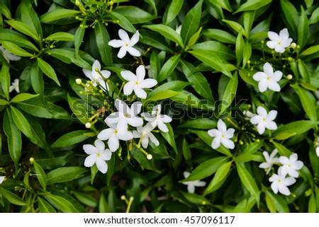 Small White Flower Shrub Green Leaves Stock Photo Edit Now