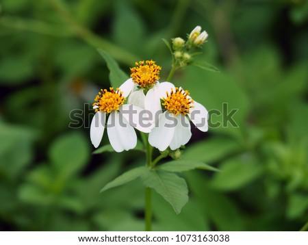 Small white flowers bright yellow stamen stock photo edit now small white flowers with bright yellow stamen bidens pilosa synonyms biden alba common names mightylinksfo
