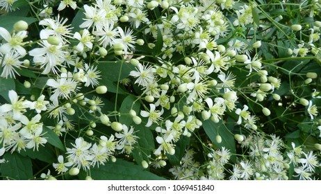 small white flowers of clematis grapefruit (lenton grapes, old man's beard, traveller's joy, Clematis vitalba) with stamens, green leaves, texture, close-up