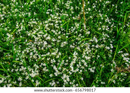 Small White Flowers Green Grass Stock Photo Edit Now 656798017