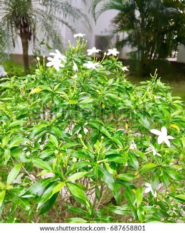Small white flowers green shrubs stock photo edit now 687658801 small white flowers in green shrubs mightylinksfo