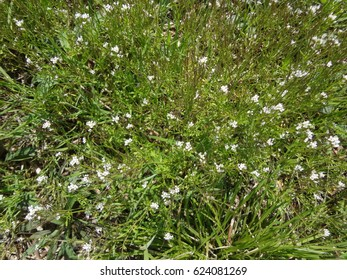Small white flowers growing in the lush green grass on a bright and sunny day. East Tennessee, USA.