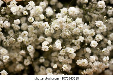 Small white flowers, Gypsophila paniculata, decor for bouquets