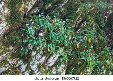 Small white flowers on a stone cliff overgrown with moss. Allium ursinum, known as wild garlic, ramsons, buckrams, broad-leaved garlic, wood garlic, bear leek or bear's garlic.