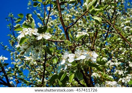 Small white flowers on tree spring stock photo edit now 457411726 small white flowers on a tree in the spring in poland mightylinksfo