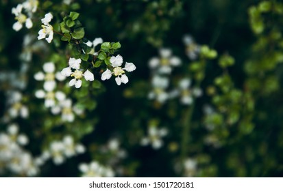 Small white flowers of a plants in a garden natural photo