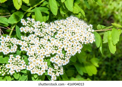 Small white flowers of spiraea in spring morning