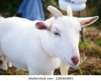 Small white goat