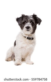 small white and grey haired dog in front of a white background
