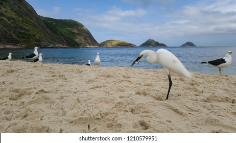 Small white heron in the foreground, scientific name Egretta thula, with gulls Larus dominicanus in the background, on the beach of Itaipu, Niteroi city, Rio de Janeiro, Brazil.