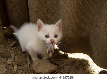 Small white kitten eating little bloody mouse