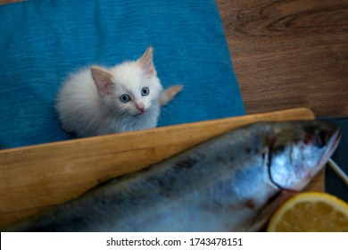 A small white kitten plaintively looks at a big fresh fish on the table. Desire concept.