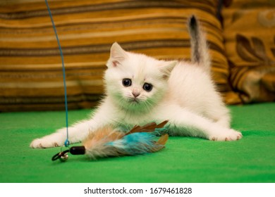 A small white kitten is playing with feathers with its paws spread out