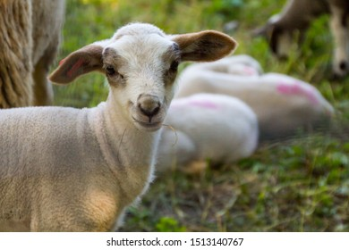 small-white-lamb-brown-ears-260nw-151314