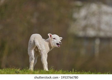 small white lamb stands on a dike, turns around and bleats