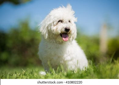 Small white long haired dog portrait - Coton de Tulear