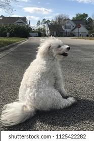 Small, white Maltipoo dog resting on a walk