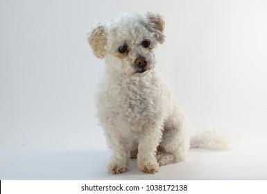 small white Maltipoo Maltese poodle
