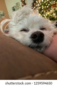 Small, white maltipoo sleeping with Christmas lights in the background