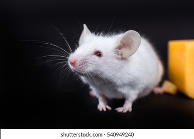 Small white mouse with a block of cheese isolated on a black background