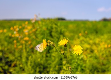 Small white or Pieris rapae butterfly on a yellow flowering field milk thistle or Sonchus arvensis plant growing between organically grown potato plants. It is in the middle of a sunny summer day.