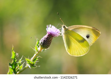 Small white (Pieris rapae) butterfly feeding nectar from a purple thistle flower in a forest on a sunny summer day