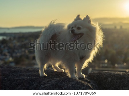 Small White Pomeranian Dog On Cliff Stock Photo Edit Now