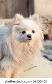 A small white Pomeranian, very cute
