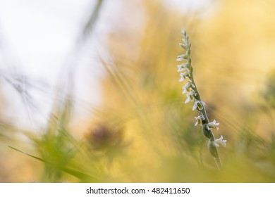 Small white rare orchid Spiranthes spiralis, commonly known as autumn lady's-tresses