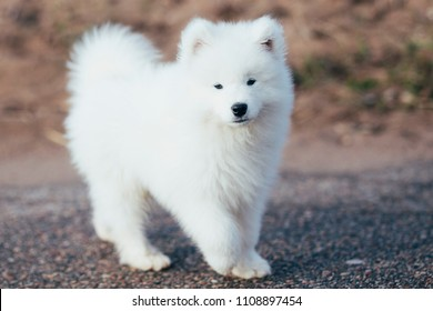 Small white samoyed puppy walking on a road
