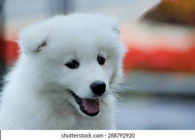 An small white Samoyed, very cute