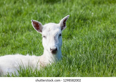 A small white Seneca deer laying in the green spring grass.