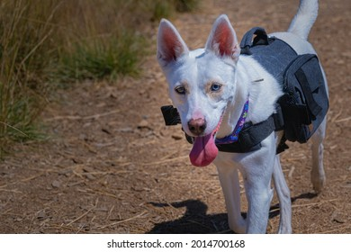 A SMALL WHITE SHEPARD MIX WITH DISTINCT EYES AND WEARING A BACKPACK