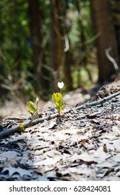 Small White Spring Flower in Forest