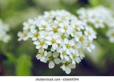 Closeup of small white flowers on bush floral background ez canvas small white spring flowers mightylinksfo