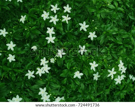Small white star shape flower field stock photo edit now 724491736 small white star shape flower field scattering with dark green leaf tree bush background mightylinksfo