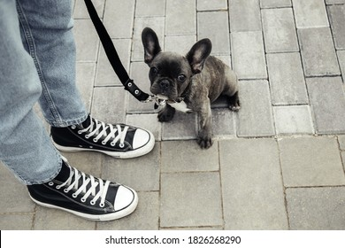 Small white and striped french bulldog puppy on a leash