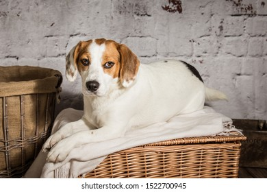 small white and tan dog lying on top of a wicker hamper in front of a white brick background.