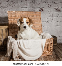 small white and tan dog sitting inside a wicker hamper in front of a white brick background. Square format