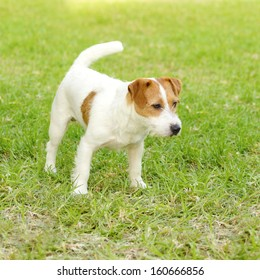 A small white and tan rough coated Jack Russell Terrier dog standing on the grass, being alert. It is known for being confident, highly intelligent and faithful, and views life as a great adventure.