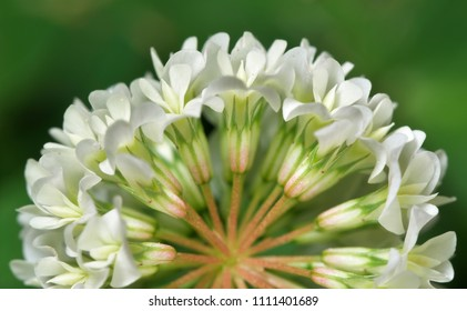 Small white wheel-shaped flower. Macro Photography