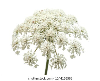 small white wild carrot flowers isolated on white background