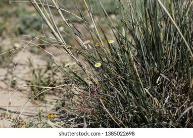 Small white wild mojave aster flowers in large green alkali sacaton grass clump