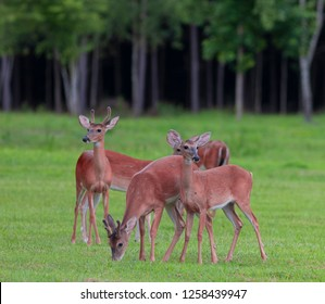 Small whitetail deer herd eating on a grassy field