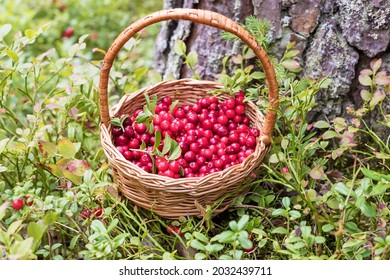 In a small wicker basket, there are fresh ripe lingonberries gathered in the forest.