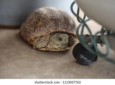 Small wild female desert turtle hides in corner