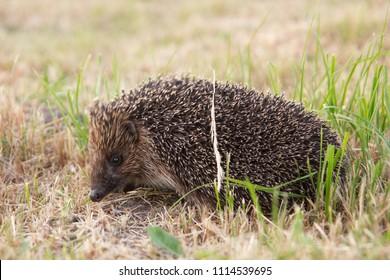 small wild hedgehog walking through green grass