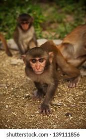 Small wild monkey on Monkey island in Vietnam